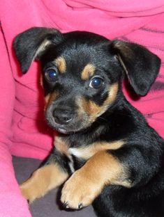 Chihuahua Mix | Chihuahua-Malteser-Dackel-Terrier-Mix in liebevolle Hände abzugeben