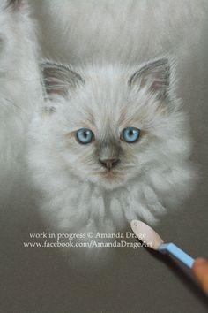 Progress shot of a Ragdoll kitten, using Panpastel, by Amanda Drage.