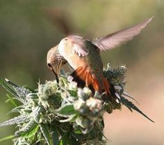 Humming Bird Kush