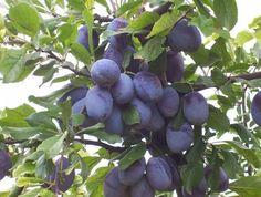 Как увеличить плодоношение слив, абрикосов, вишни.. Обсуждение на LiveInternet - Российский Сервис Онлайн-Дневников