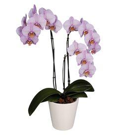 Ура! 😋Теперь у нас в ассортименте появляются всеми любимые орхидеи в горшках!💐🌸🌺Такую красоту не обязательно дарить в праздник, можно сделать приятный подарок просто так - без всякого повода; и мы конечно же вызываемся Вам с этим помочь👌Уже принимаем заказы на доставку: Контактный телефон: +375 29 6255656 https://ok.ru/bloomroom https://www.instagram.com/bloom_room.by/