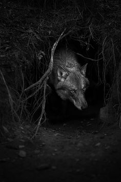 wolf in lair by Norweigan photographer Christian Houge - beautiful shot