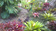 Bromeliads looking lush in the early autumn warmth, nicely dotted amongst our NZ native Doodia squarrosa fern