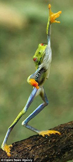 Frog Saturday night fever : This rhythmic reptile was caught strutting its stuff on a branch in Indonesia.