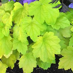 Electric Lime heuchera is the perfect accent for a mostly green garden; its big maple-like leaves add a pop of bright lime that's guaranteed to wake up darker green shrubbery. Cluster several plants at the front of a border for striking contrast. Colorful Plants, Colorful Garden, Green Garden, Lawn And Garden, Fruit Garden, Spring Garden, Shade Garden Plants, Garden Shrubs, Garden Landscaping