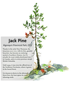 The jack pine is an enduring symbol of northern Ontario, but did you know it's the most widely-distributed tree in Canada?