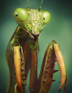 Praying Mantis Macro by Victormf Praying Mantis Macro by Victor Maiorino Fernandes<br> It's a macro like photo of a praying mantis. Cool Insects, Bugs And Insects, Cool Bugs, Insect Photography, Beautiful Bugs, Praying Mantis, Insect Art, Little Critter, Tier Fotos