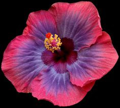 Hibiscus - love this variety!