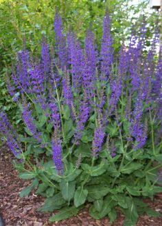 Love this perennial: May Night Salvia. Good for middle of borders (as it spikes up) or accents. Blooms in May & June.