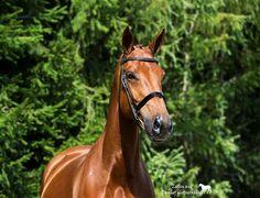 Paarden te koop: ca