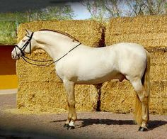 Pura Raza Española stallion Bronco PM. A fixture on Pinterest horse boards a while, he is a rare pseudo-dilute pearl and cream.