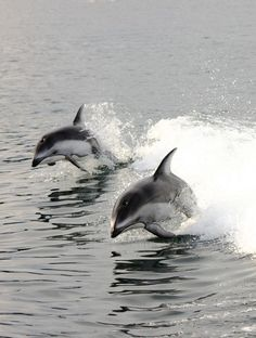 Vancouver Island, BC, Canada- Time to play Photo by Emanuele Del Bufalo Delphins