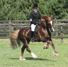 Welsh Cob (section D) stallion Derwen Mr T