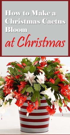 A Christmas cactus in full bloom creates a warm atmosphere during the holidays. Red, pink, white or orange: Its lovely flowers brighten up any interior. Learn how to make christmas cactus bloom at christmas or in holiday season by following these tips.