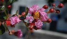 Resedá - Lagerstroemia indica - Google Search
