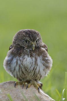 Brazilian Pygmy Owl - by Steven Mornout