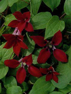 ~Crimson Clematis 'Gravetye Beauty' • Clematis texensis 'Gravetye Beauty' • Scarlet Clematis 'Gravetye Beauty' • Plants & Flowers • 99Roots.com