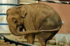 When an elephant holds his tail this way, it's a sign of being scared and feeling lonely.