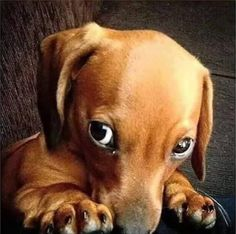 "Exceptional ""dachshund puppies"" information is offered on our website. Dachshund Puppies, Weenie Dogs, Dachshund Love, Cute Puppies, Pet Dogs, Dogs And Puppies, Dog Cat, Pets, Daschund"