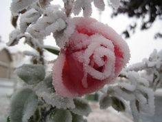 Ice rose!