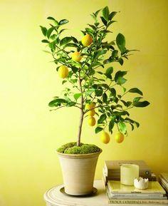 Culture et entretien d'un citronnier en pot