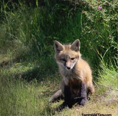 Fox Photos from San Juan Island