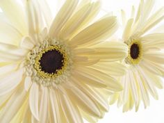 Cream Colored Roses | cream daisy flowers with brown center.jpg (1 comment) Hi-Res 720p HD