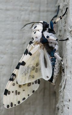 Giant leopard moth.. Austin, Texas, U.S (by nikkorsnapper on Flickr)