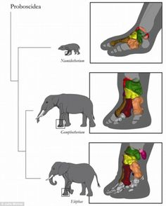 A diagram showing how the elephant foot evolved. Comparative anatomy