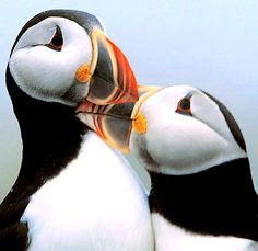 AH!  I think I'm in love with puffins!