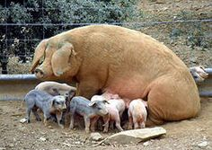 The indigenous Portuguese #Bísaro Pig