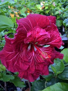"Tropical hibiscus.""Dragon's Lair"" ...."