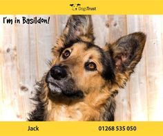 Jack at Dogs Trust Basildon is a 1 year old collie cross looking for a home where he can gain some confidence. He is a very sweet lad and enjoys toys, treats & exploring. He is a little shy with new people though and will need owners that will let give him time & space to settle and let him come to them. Jack has mixed with other dogs here and has been a good boy.