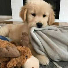 Cute Baby Animals, Animals And Pets, Funny Animals, Cute Dogs And Puppies, Baby Dogs, Doggies, Labrador Facts, Retriever Puppy, Dog Cat