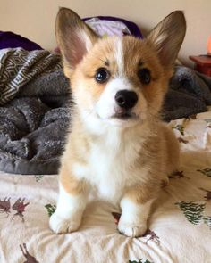 A place for all things corgi puppies. Cute Corgi Puppy, Cute Little Puppies, Corgi Dog, Cute Dogs And Puppies, Puppies Tips, Lab Puppies, Cavapoo Puppies, Teacup Puppies, Pomeranian Puppy