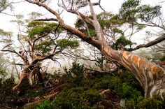 Snow Gums, Mount Field National Park Tasmania