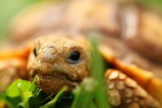 One of my baby Sulcata tortoise on the prowl by j.dorton, via Flickr