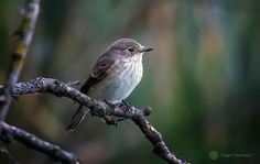 Spotted flycatcher (Muscicapa striata / Muscar sur)