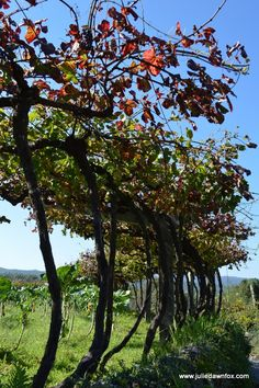 Exploring the Serra d'Arga in Northern Portugal. Grape vines, grown high enough to stop the sheep from eating the grapes!