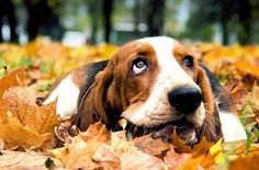 10 Things that Make Your Basset Hound Happy!