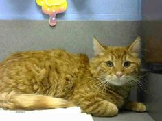 URGENT!! #A444266 (Moreno Valley, CA) Male, orange tabby and white Domestic Longhair. 1 year. SIBLINGS ARE A444265 & A444267 I have been at the shelter since Jan 02, 2015 and I may be available for adoption on Jan 09, 2015 at 5:24PM. For more information about this animal, call: Moreno Valley Animal Services at (951) 413-3790 Ask for information about animal ID number A444266 — at City of Moreno Valley Animal Control Services.