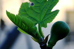 Füge Plant Leaves, Fruit, Vegetables, Flowers, Plants, Gardening, Lawn And Garden, Vegetable Recipes, Plant