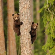 OK smarty pants, now what? Cute Funny Animals, Cute Baby Animals, Baby Pandas, Nature Animals, Animals And Pets, Wild Animals, Beautiful Creatures, Animals Beautiful, Ours Grizzly