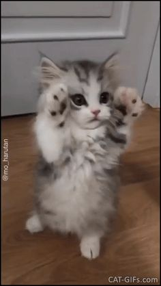 Kitten GIF • Cute and precious floof kitty standing and dancing in a funny way