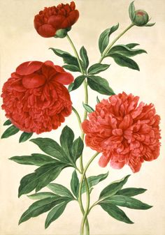 Peonies, by Johan Jakob Walther (1600-79). Watercolour. Germany, 17th century