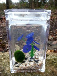 Marimo pet Moss Ball Living Water Terrarium Japanese by MossTerrariums, $37.00