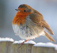 "nubbsgalore: "" precious lil robin bird balls in winter. photos by kevin denham, roeselien raymond, andrew fletcher, iñaki tejerina guruziaga, chris sharratt, andrew howe and christine hamilton (see..."