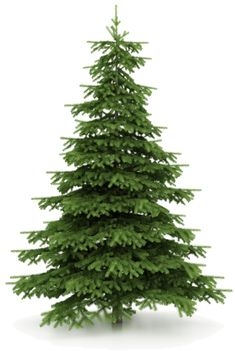 There can be a big difference between different types of Christmas trees. Some are not available in some areas and so where you live may be a factor in determining the types that you get to choose from. For example Noble or Douglas firs are most popular in the Pacific Northwest whereas in North Carolina [...]