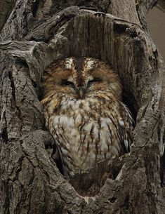 owl in hole of tree   An owl huddled into a hole in a tree with its eyes peeping open.