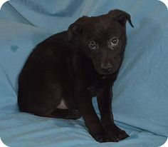 Las Vegas, NV - Basenji/Dachshund Mix. Meet Love: Heartthrob, a puppy for adoption. http://www.adoptapet.com/pet/15024496-las-vegas-nevada-basenji-mix